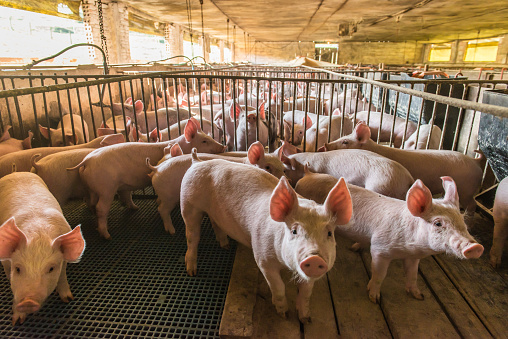Business is offered to invest in a pig farm in the Khabarovsk Territory