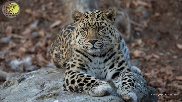 Guardian of leopards