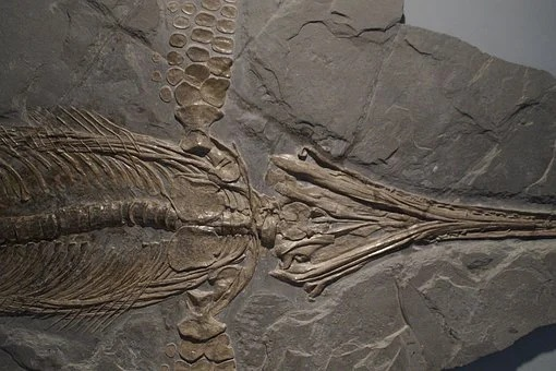 The remains of an ichthyosaur found on the Russky island