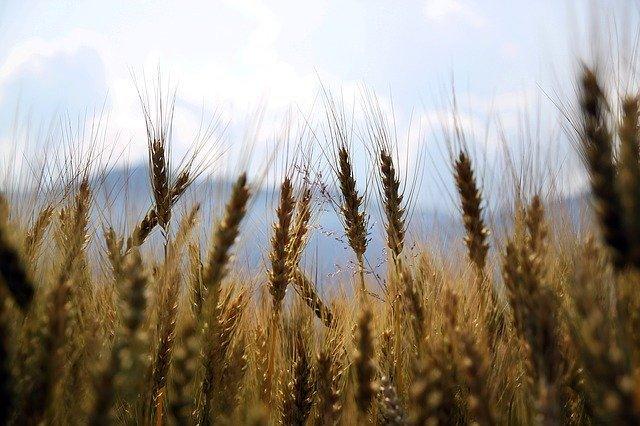 Увеличить производство зерна хотят в Приангарье