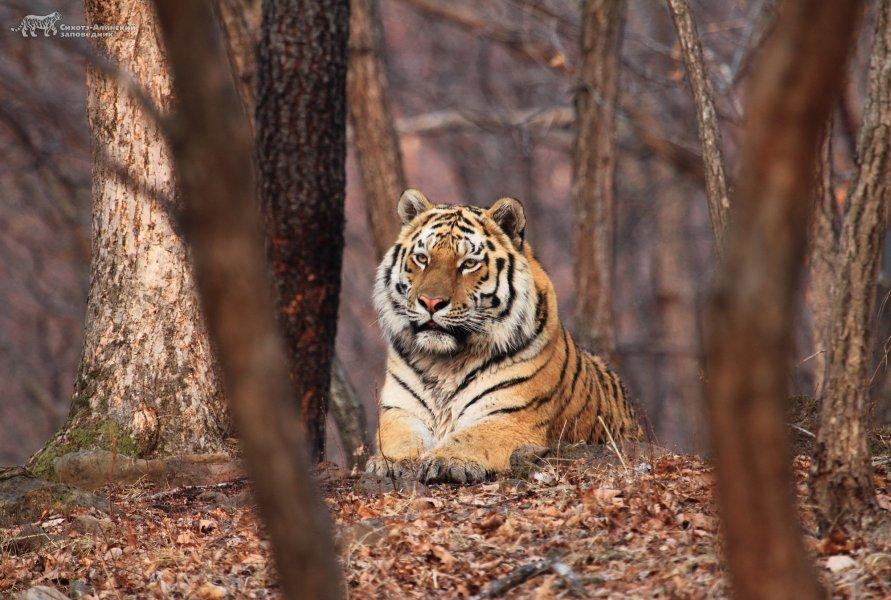 Sutyrin SV.tigr_relevant0.jpg
