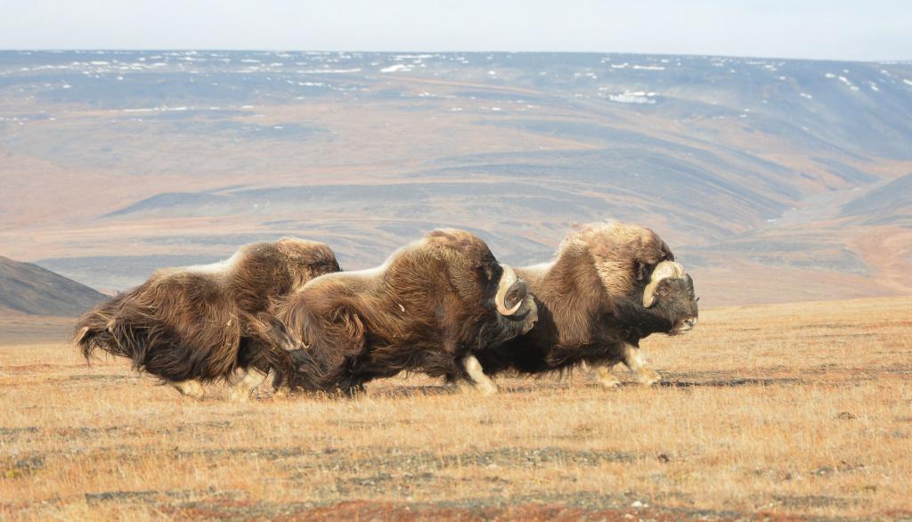 A dashing trio rushes along the tundra.jpg
