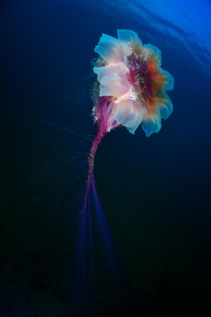podvodnyy_mir_Andrey Spatak, photo Underwater jellyfish flower, Rudnaya Bay, Primorsky Krai.jpg