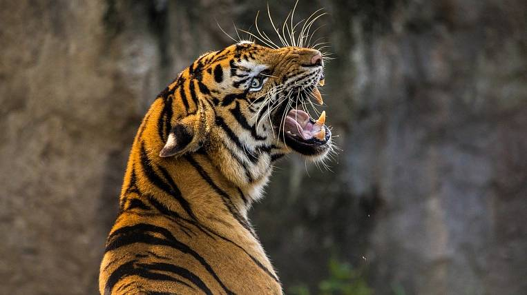Article accused of killing Pavlik the tiger in Amur Region has been toughened up