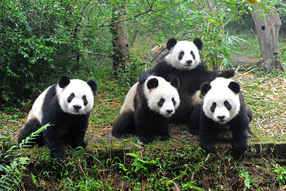Homeland pepper and panda