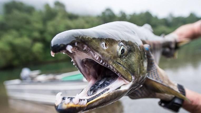 Камчатские рыбаки добыли больше 200 тысяч тонн лосося