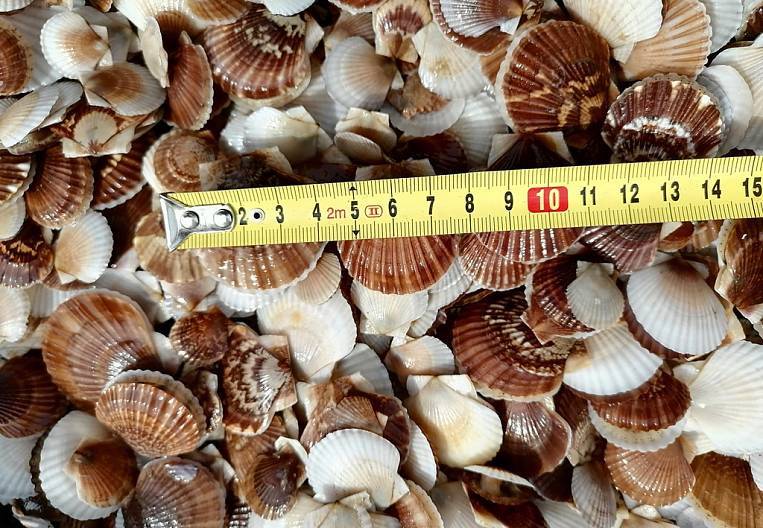 Visiting the scallop