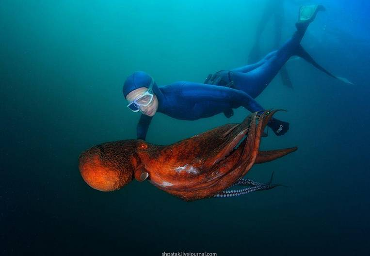 Talking with Octopus