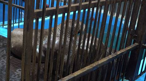 Walrus replaced the whale prison in Primorye